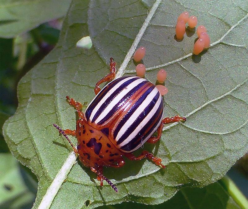 Колорадский жук - фото