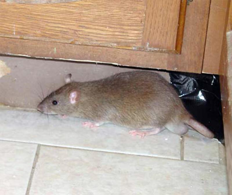 Крысы - фото