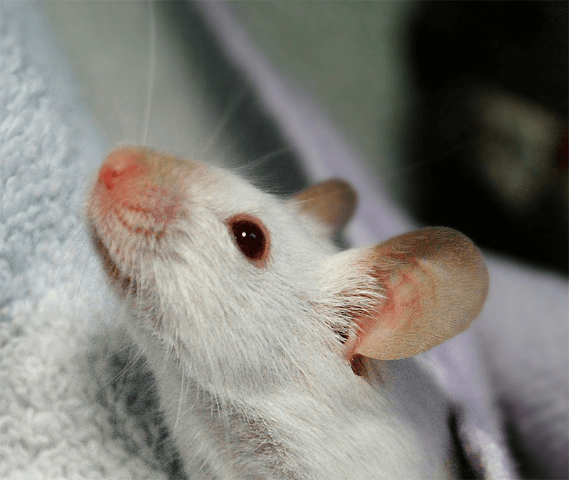 мыши дома-фото