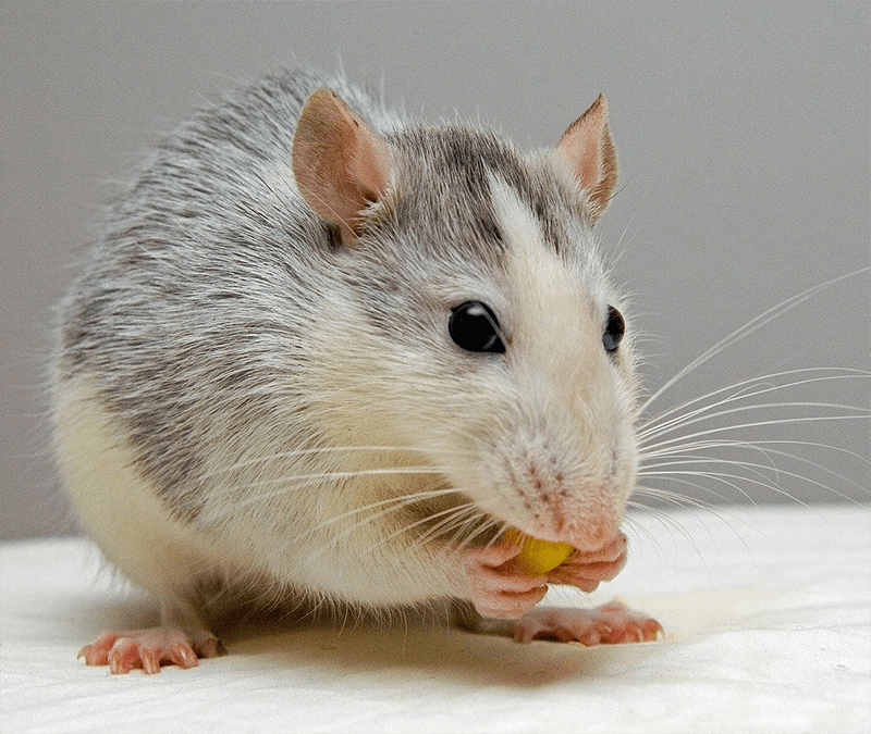 крысы дома